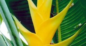 Caribaea Chartreuse