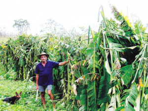 Cyclone damaged crop