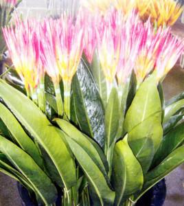 Basilisk Blooms